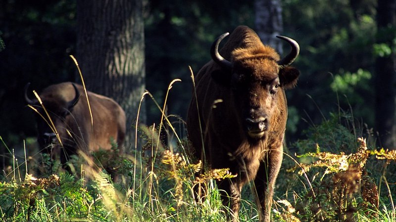 European bisons in Bieszczady